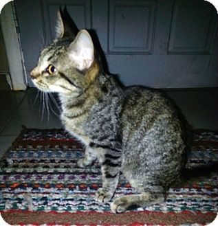 American Shorthair Kitten for adoption in Brooksville, Florida - CALI