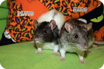 Rat for adoption in Walker, Louisiana - Mars