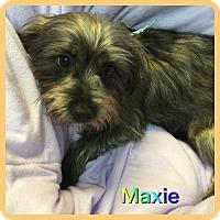 Adopt A Pet :: Maxie - Hollywood, FL