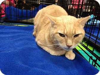 Domestic Shorthair Cat for adoption in Jenkintown, Pennsylvania - Chester