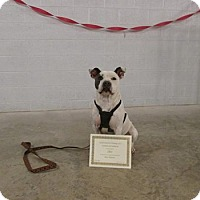 Pit Bull Terrier Dog for adoption in Stuart, Virginia - Chico