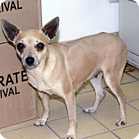 Miniature Pinscher/Chihuahua Mix Dog for adoption in Lumberton, North Carolina - Sweetie