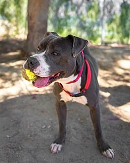 Boxer/American Staffordshire Terrier Mix Dog for adoption in Santa Paula, California - Missy Layla