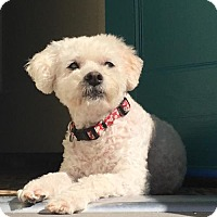 Adopt A Pet :: Margie - Sweetest Blind Poodle - Seattle, WA