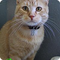Adopt A Pet :: Acorn - Bradenton, FL