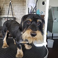 Dachshund/Yorkie, Yorkshire Terrier Mix Dog for adoption in Vinemont, Alabama - Uno