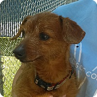 Adopt A Pet :: Cyrus - Chula Vista, CA
