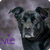 Adopt A Pet :: Evie - Somerset, PA