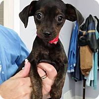 Adopt A Pet :: Marsha - Hawk Point, MO