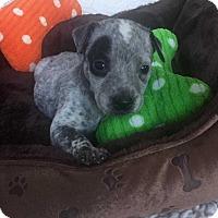 Adopt A Pet :: Caleb (Addys litter) - Wenonah, NJ