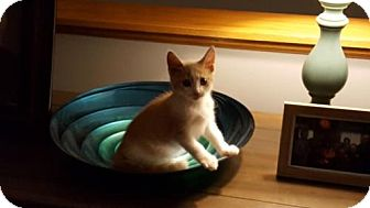 Domestic Shorthair Kitten for adoption in Minneapolis, Minnesota - Felix