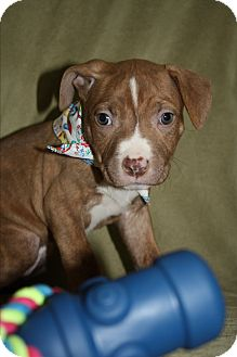 Pit Bull Terrier Mix Puppy for adoption in Tehachapi, California - Grumpy