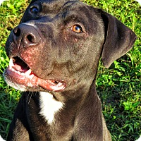 Pit Bull Terrier Mix Dog for adoption in West Babylon, New York - Irwin