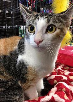Calico Cat for adoption in Dallas, Texas - Poppy