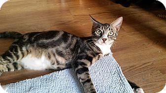 Bengal Kitten for adoption in Virginia Beach, Virginia - Baxter