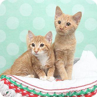 Domestic Shorthair Cat for adoption in Chippewa Falls, Wisconsin - Turkey