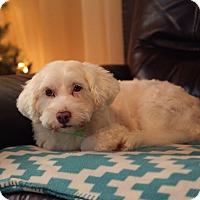 Adopt A Pet :: Brody - Renton, WA