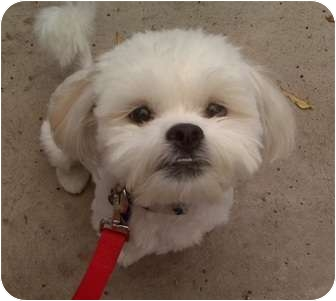Image Result For Maltese Rescue Denver