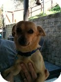 Chihuahua/Pomeranian Mix Dog for adoption in Modesto, California - Flipper