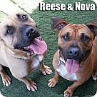 Adopt A Pet :: Reese/Nova
