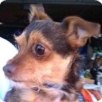 Adopt A Pet :: Little Joe - Seattle, WA