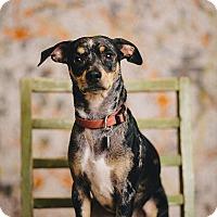 Adopt A Pet :: Piggy - Portland, OR
