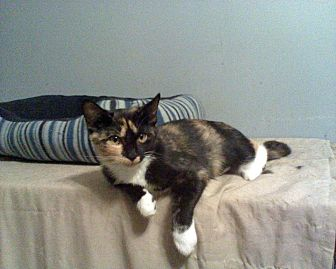 Domestic Shorthair Cat for adoption in Clarkson, Kentucky - Colleen