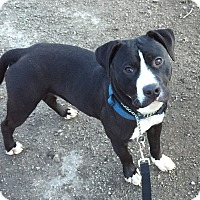 Adopt A Pet :: Ace - Geneseo, IL