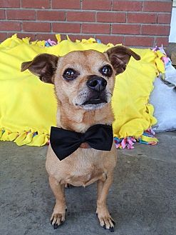 Chihuahua Mix Dog for adoption in Midway City, California - Felix