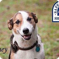 Adopt A Pet :: Honey - Middleburg, FL