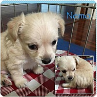 Adopt A Pet :: Nemo (Dory's puppy) 'doxie-mix' - Los Angeles, CA