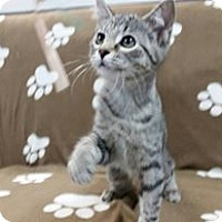 Domestic Shorthair Kitten for adoption in Hawk Point, Missouri - Boxy