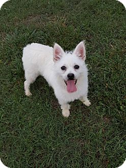 Norwich Terrier Mix Dog for adoption in Alpharetta, Georgia - Tilly