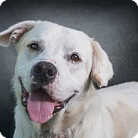 Labrador Retriever Mix Dog for adoption in Loxahatchee, Florida - Snickers 151