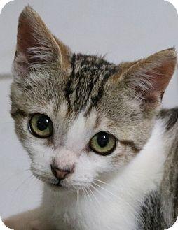Domestic Shorthair Kitten for adoption in cupertino, California - Julius ----- 50.00
