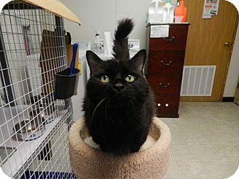 Domestic Longhair Cat for adoption in Plainville, Massachusetts - Lexie