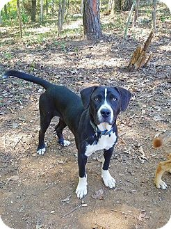 Boxer/Hound (Unknown Type) Mix Dog for adoption in Kingston, Tennessee - Janie