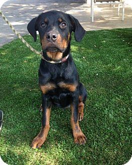 Rottweiler Dog for adoption in Temecula, California - Libby