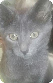 Russian Blue Kitten for adoption in Devon, Pennsylvania - LA-Frankie (Courtesy Post)