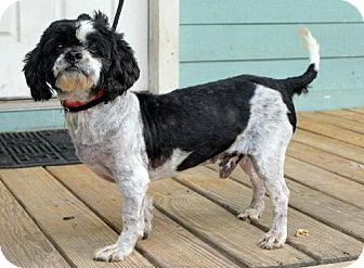 Poodle (Miniature)/Shih Tzu Mix Dog for adoption in Billings, Montana - Hopkins
