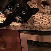 Adopt A Pet :: Sylvester - Lauderhill, FL