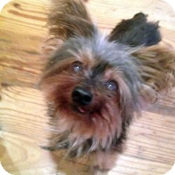 Yorkie, Yorkshire Terrier Dog for adoption in West Palm Beach, Florida - Nuggett