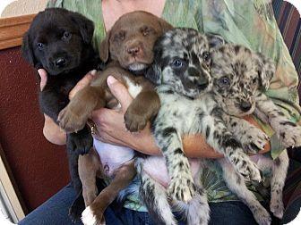 Blue Heeler Husky Lab Mix Labrador retriever/blue heeler