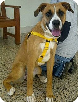 Boxer/Great Dane Mix Dog for adoption in North Olmsted, Ohio - Socks