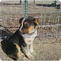 Adopt A Pet :: aussie pup 1 - Alliance, NE