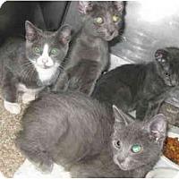 Adopt A Pet :: Russian Blue mixes - Dallas, TX