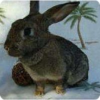 Adopt A Pet :: Baby Brownie - Williston, FL