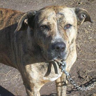 Pit Bull Terrier Mix Dog for adoption in Fredericksburg, Virginia - Heidi