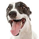 Adopt A Pet :: Joey