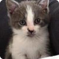 Adopt A Pet :: Gustav - Polydactyl - Reston, VA